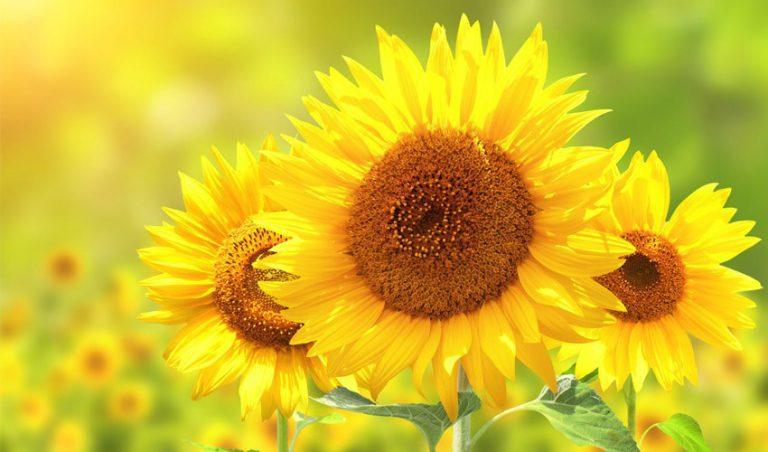 جوهر زیستی پرینتر سه بعدی با پایه گرده گل آفتابگردان